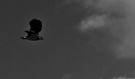 lapwing in flight 8 bw